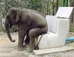 gajah-duduk